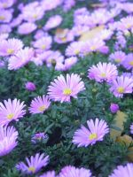 Purple aster by MariaSemelevich