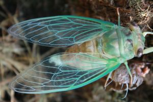 Cicada Wings 2 by eleutheria-stock