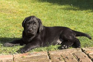 Labrador Puppy Posing by rainey06au
