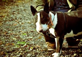 Nadal The English Bull Terrier XVII by scribbleXcore