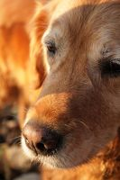 Golden retreiver by nasatech