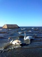 Swans and drakes II by Dorian-Gray7