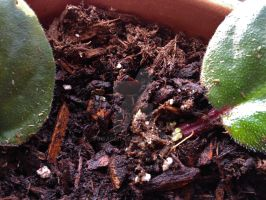 Propagating African Violets 1 by Bwabbit