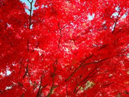 Clusters of Red Fall by SenbonGirl7