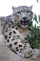 Belated International Snow Leopard Day by robbobert
