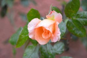The rose in the rain by A1Z2E3R