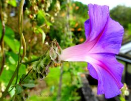 Genuine Bliss - Purple Ipomeia Morning glory by Cloudwhisperer67