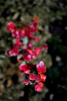redautumn by JelenaPicturing