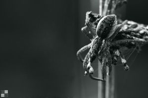 Dolomedes fimbriatus III by Kn3xX
