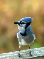 Blue jay 5 by LucieG-Stock