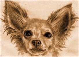 Chihuahua by cassiestep202