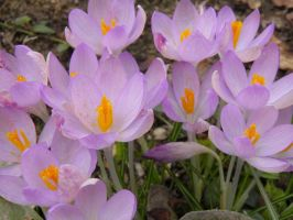 Crocusses in Spring by JanuaryGuest