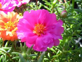 Moss Roses III by Neriah-stock