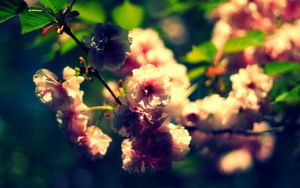 Cherry Blossoms in Spring by Sunira