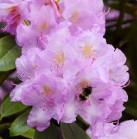 Pink Rhododendron by MayEbony