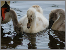 White cygnet by Mogrianne