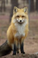 Red Fox by amzimme