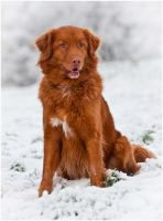 Carlo the Toller by KonikPolski