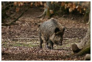 Wild Boar 2 by neilwightman