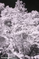 infrared pine tree by djqcookie