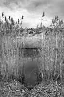 Reeds 1449 by filmwaster