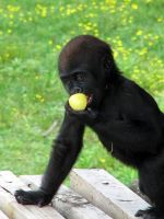 Baby Gorilla by shadowcolors15