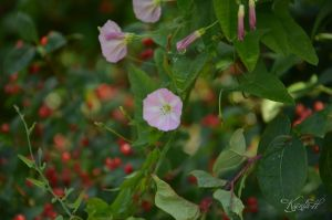 Bindweed by Loriell-Grienlif