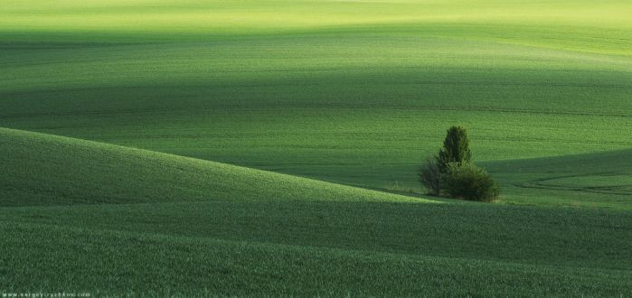 Spring green field and tree. Ukraine, Volhynia by Sergey-Ryzhkov