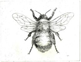 Bumble bee (dry point) by metropolis03