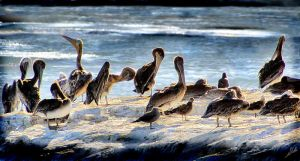 Pelicans by shell4art