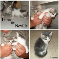 My Kittens- Luna + Neville by irishgirl982