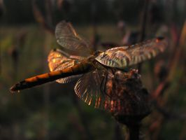 Sunset Dragonfly by DeingeL