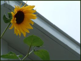 Sunflower Stock 2 by ceaca