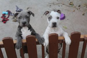 Pitbull puppies by Snowflake-owl