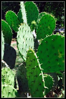 Cactus 2 by WVUARTIST