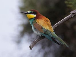 The colour of love - European Bee-eater by Jamie-MacArthur