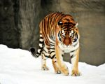 Amur Tiger 2 by TiffyLiz