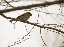 Female House Sparrow 2014 1 by toshema