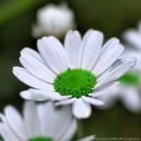 Daisy 3 by FrancescaDelfino