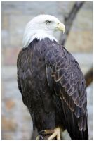 Bald Eagle III by DysfunctionalKid