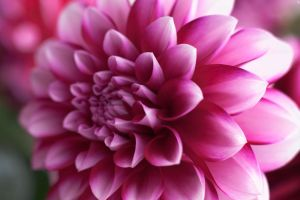 Dahlia by PenguinPhotography