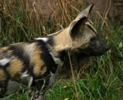 African Wild Dog IV by oOBrieOo