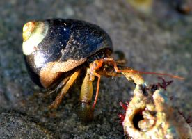 Hermit crab cannibal by fosspathei