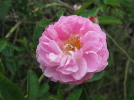 wild rose 5463 by Maxine190889
