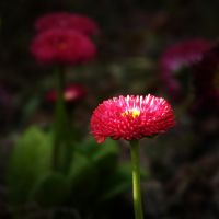 Pink Daisy by anneclaires
