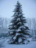 Fir in Winter by serel
