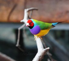 Gouldian Finch by Entophile