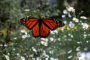 Monarch in the Garden by onlycomeoutatnight