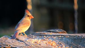 Female Cardinal at Sunset by fractalfiend