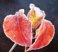 Three Frosty Leaves by justamom